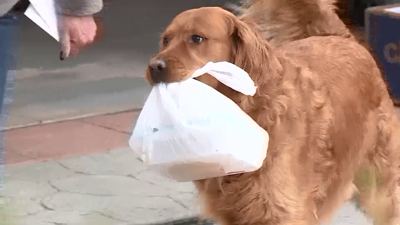 Sunny - the Colorado dog delivering groceries