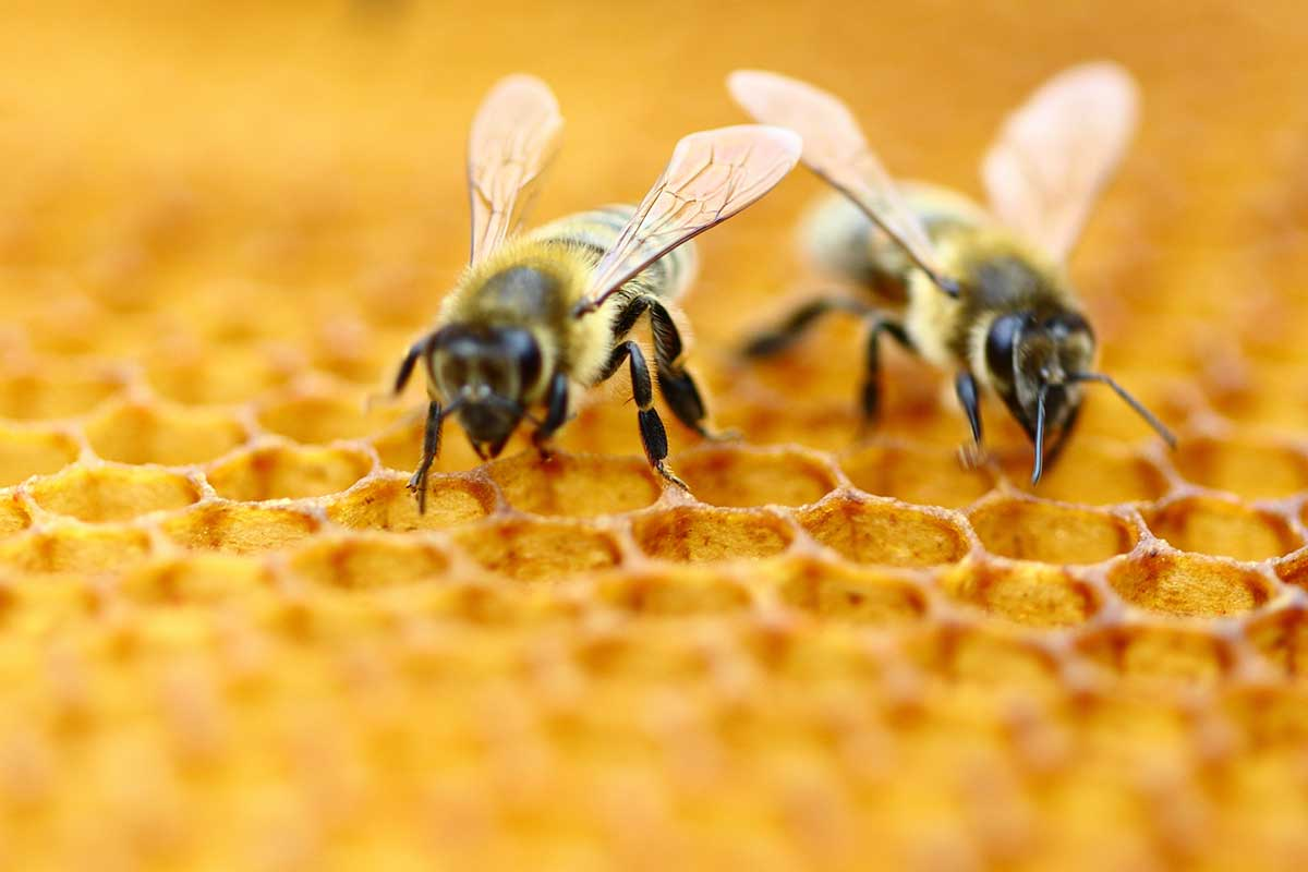 Bees on beeswax