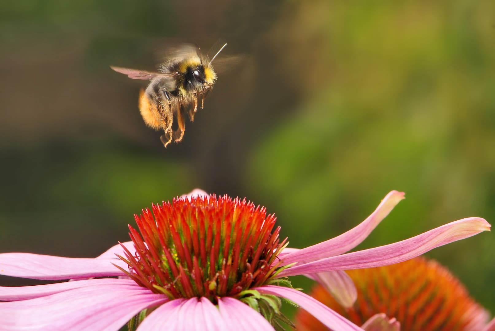 Blossom flower bee