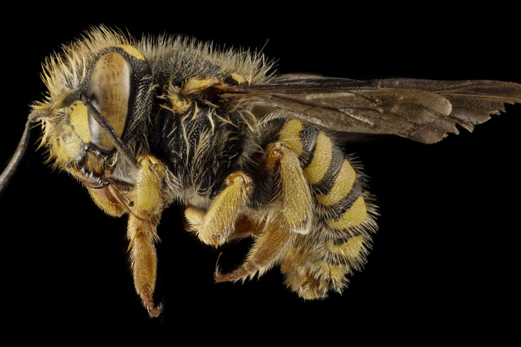 Scientists Discover a Bee That Is a Combination of Male and Female