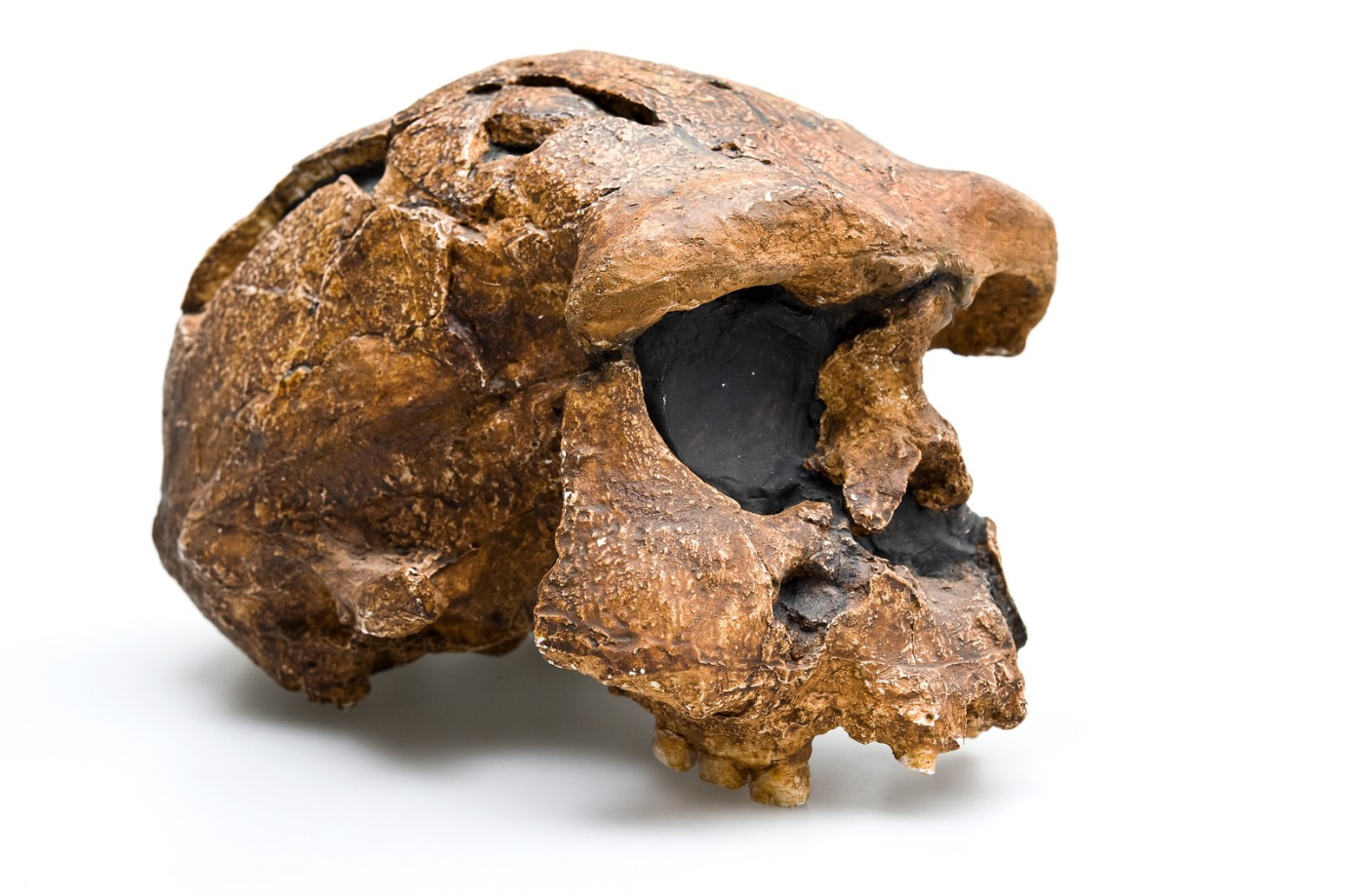 Homo Erectus Is Older Than We Thought