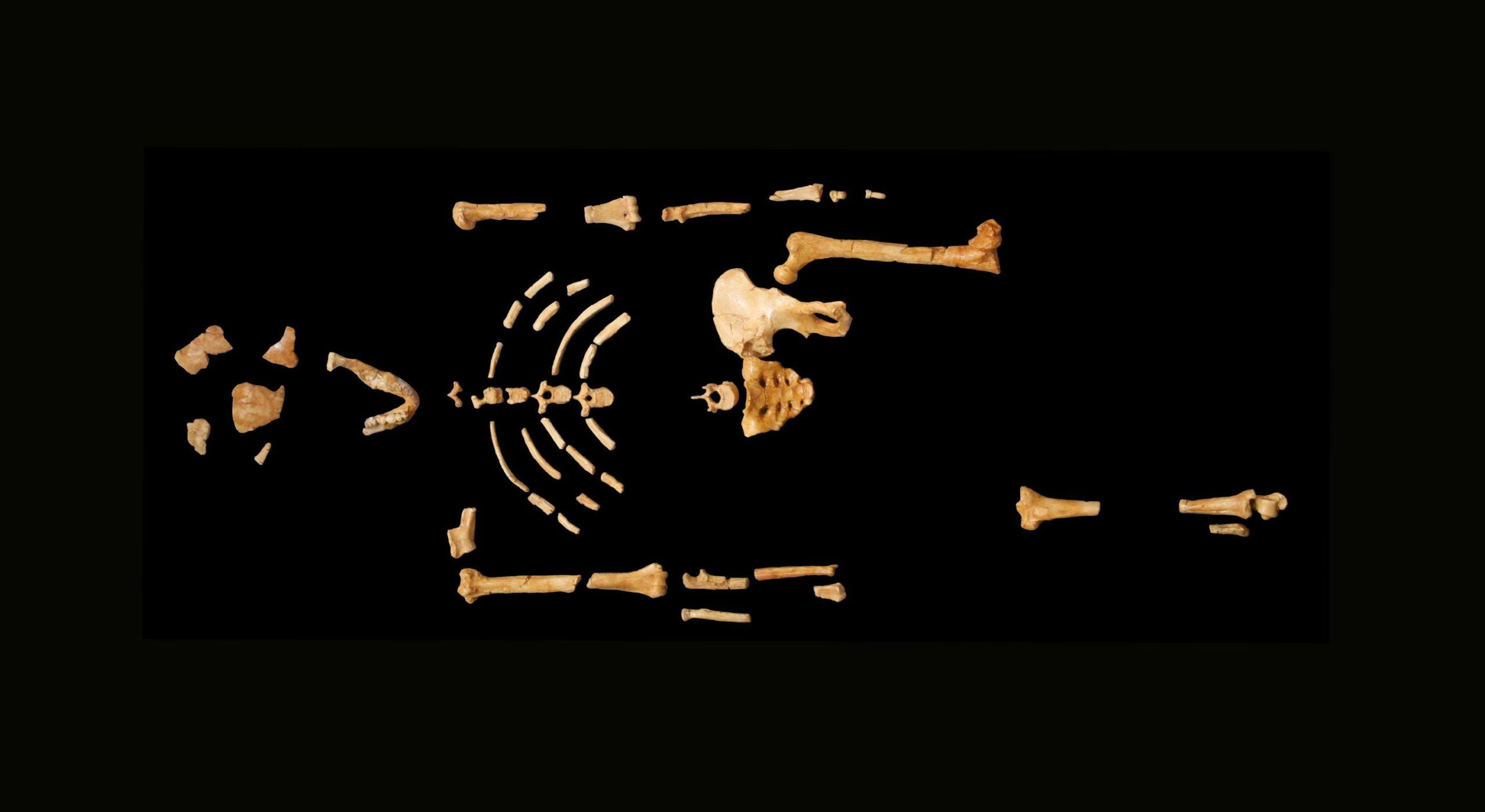 Lucy - an Australopithecus afarensi