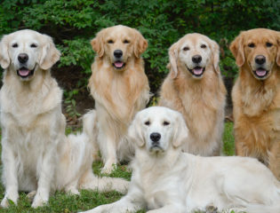 five Golden Retrievers in the grass