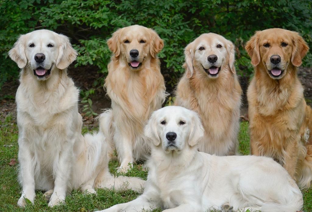 five Golden Retrievers in the grass