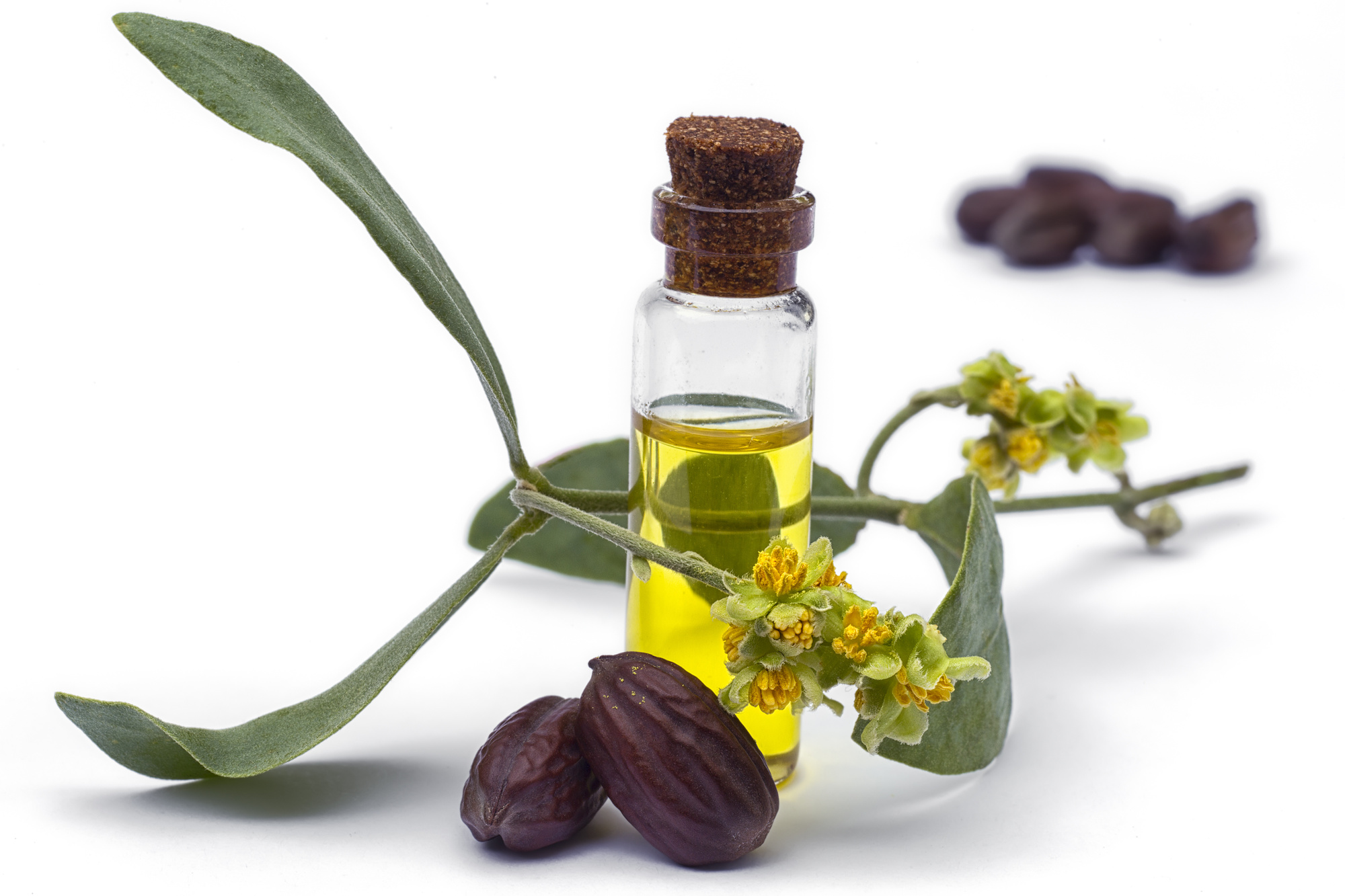 Jojoba (Simmondsia chinensis)oil, leaves, flower and seeds isolated on withe beckground