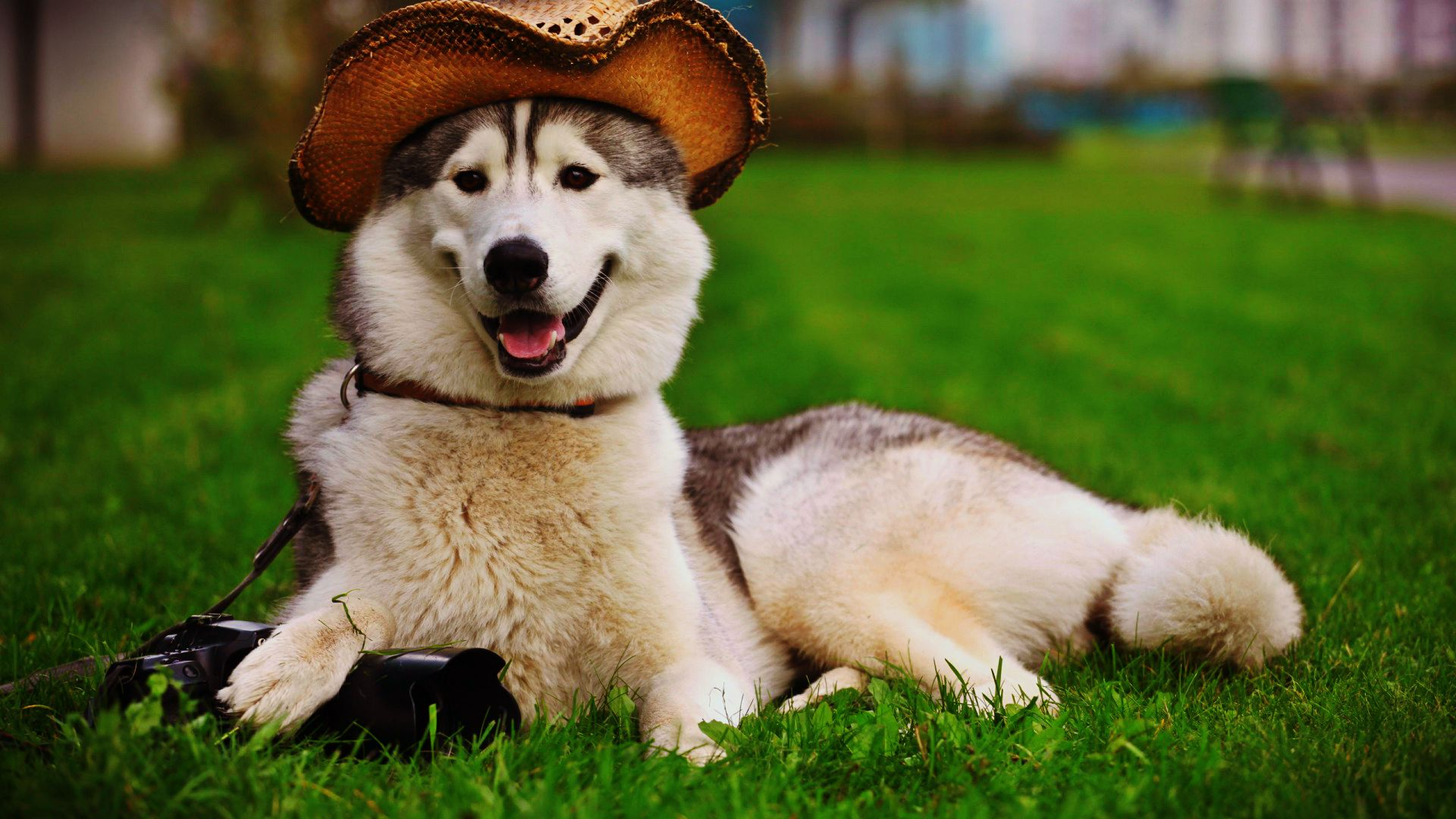 Husky with a hat - classy pets collection
