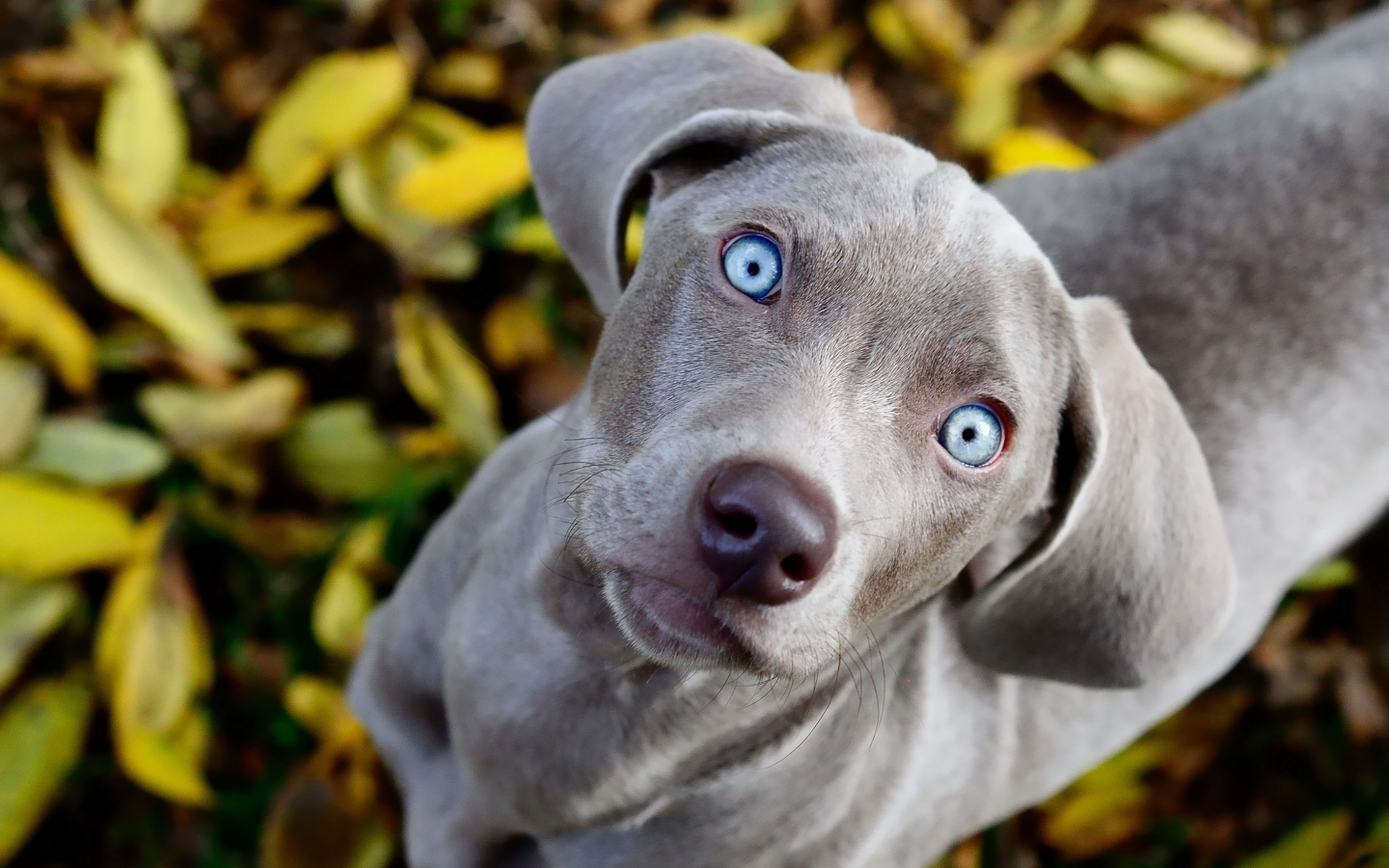 Weimaraner yellow leaves
