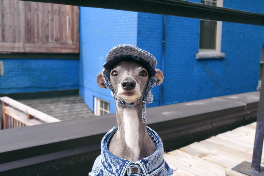 A Stylish Greyhound Named Tika Makes a Fashion Debut on TikTok